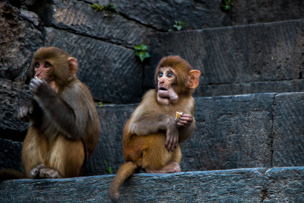 Monkeys and Pashupatinath