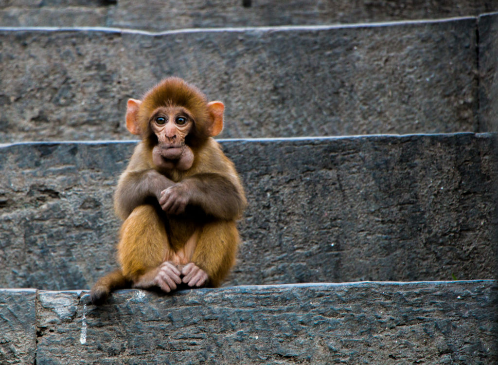 Monkey, Pashupatinath