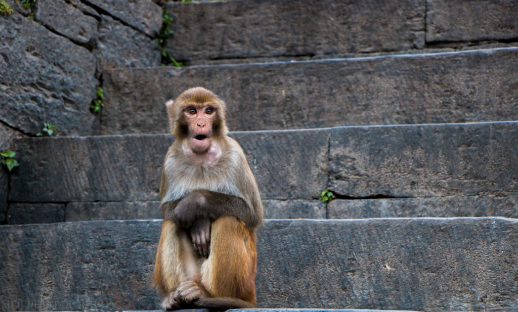 Monkey Pashupatinath